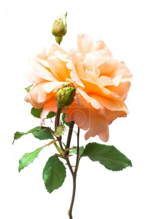 Beautiful orange rose with bud flower isolated on white backgrou
