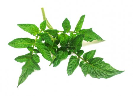 Branch with tomato leaves isolated on white background. Leaf, gr