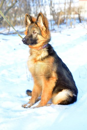 Puppy German Shepherd dog plays in winter on a walk with leash against the snow