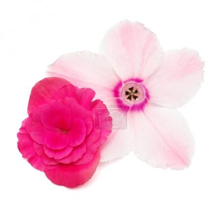 Flower pink cyclamen and begonia isolated on white background. Flowers in the form of a starfish with eyes. Summer. Spring. Flat lay, top view. Love. Valentine's Day.