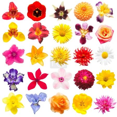 Flowers collection of assorted roses, daisies, irises, pansies, tigridia, daffodil, tulip, lilies, gerbera, cyclamen isolated on white background. Flat lay, top view