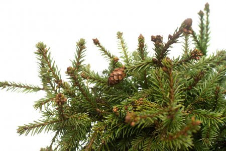 Spruce picea abies pusch with cones isolated on white background. Conifers. Christmas tree. New Year