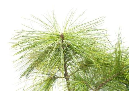 Photo pour Branche de Bhoutan pin Pinus wallichiana isolée sur fond blanc. Conifère - image libre de droit