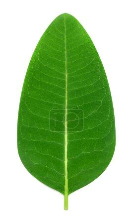 Photo pour Feuille verte fraîche isolée sur fond blanc. Couché à plat, vue de dessus. Concept de nature - image libre de droit