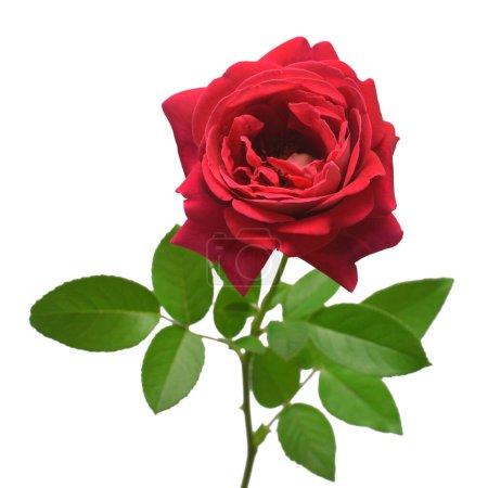 Photo pour Fleur rose rouge isolée sur fond blanc. Carte de mariage, mariée. Salutations. L'été. Le printemps. Couché à plat, vue de dessus. L'amour. Saint Valentin - image libre de droit