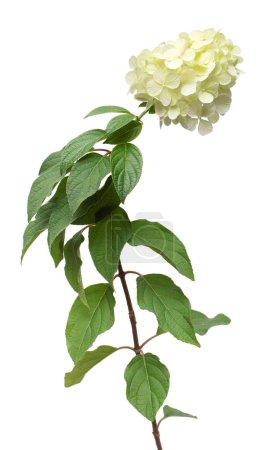 Photo pour Hydrangea paniculata isolé sur fond blanc. Belle fleur blanche. Vue de dessus, plan plat - image libre de droit