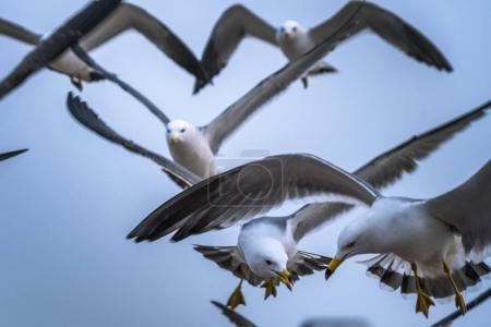 Photo pour Groupe de mouettes volant au-dessus du ciel bleu, prises de vue à Qingdao, Chine . - image libre de droit