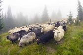 Sheep grazing in mist