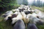 Shepherd and sheep in Carpathians