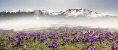 Crocuses field in spring