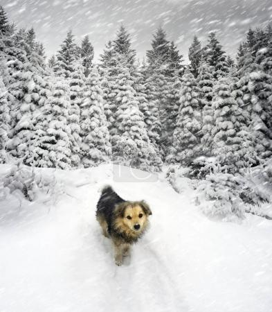 dog in the Carpathian mountains