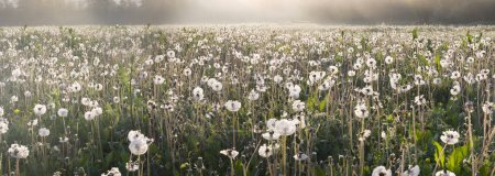 Dandelions field at sunrise