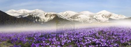 Crocuses field in spring