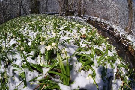Alpine snow flowers