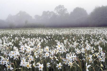 Daffodils field at dawn