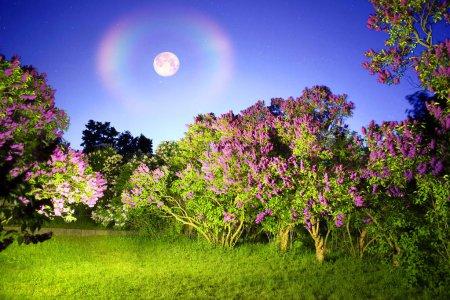 Lilac trees at romantic night