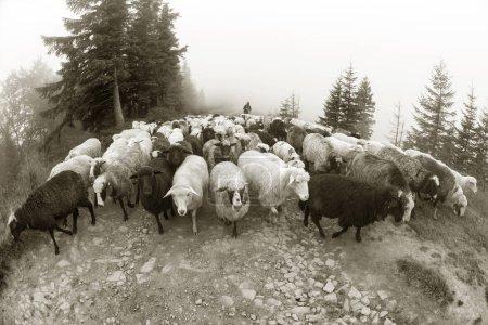 Black and white photo of sheep