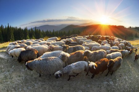 Shepherds and sheep in Carpathians