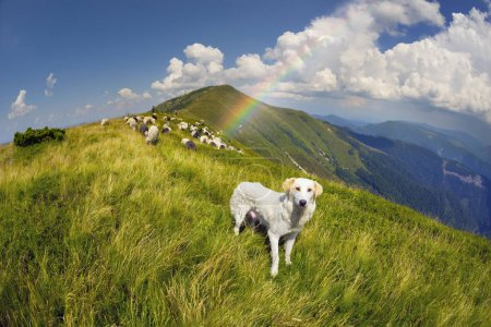 Dog and sheep on a mountain pasture