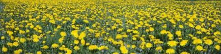 Dandelions field on the lawn