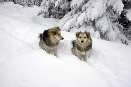 blizzard and two dogs in Carpathians