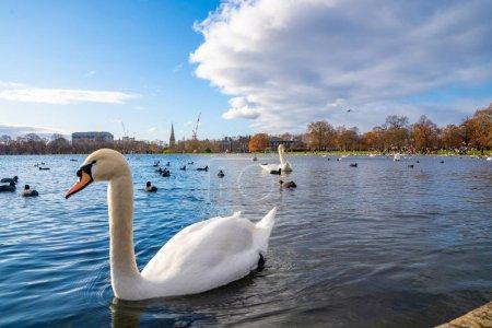 Photo pour Cygnes romantiques nageant dans un étang à Londres, Royaume-Uni. Belle faune à Londres . - image libre de droit
