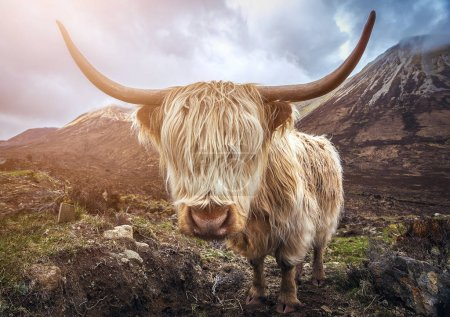 Scotland, UK - Portrait of a Highland Cattle at the Glamaig mountains on Isle of Skye
