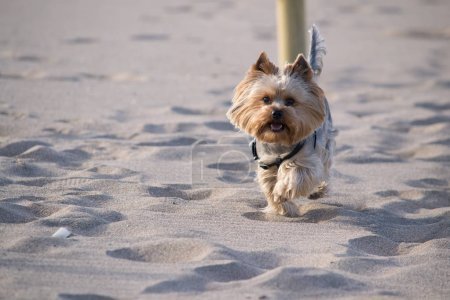Yorkshire Terrier runs through the sand.