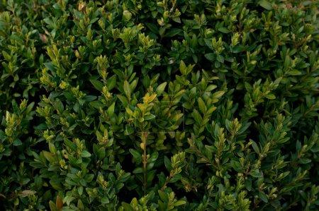 Green bush background - Buxus