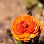 Ranunculus flower premier bi color mix blooms in a...