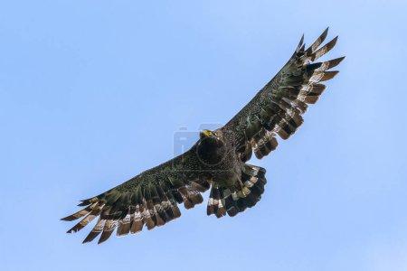 Photo pour Serpent Aigle planant dans le ciel bleu . - image libre de droit