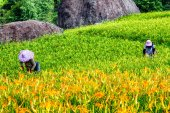 Sea of daylily flowers in Mountain