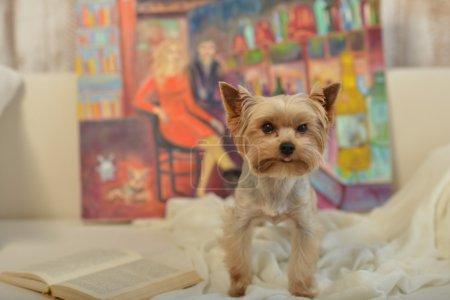 Photo pour Dog York sur le tissu. Sweet York lit un livre et se couche confortablement sur un tapis blanc. Derrière le chien peint par des peintures à l'huile. La peinture représente une paire d'amoureux dans le caf - image libre de droit