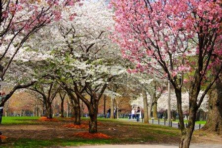 Cherry Blossom in Boston Public