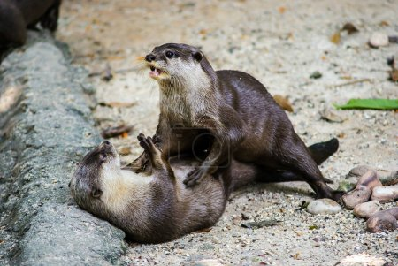 European otter (Lutra lutra), also known as the Eu...