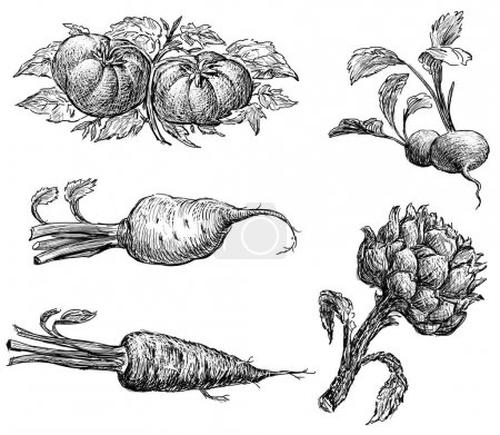aketches of the ripe vegetables