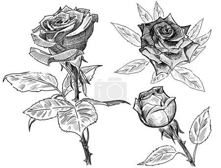 Photo pour Main-dessins des roses de jardin. - image libre de droit