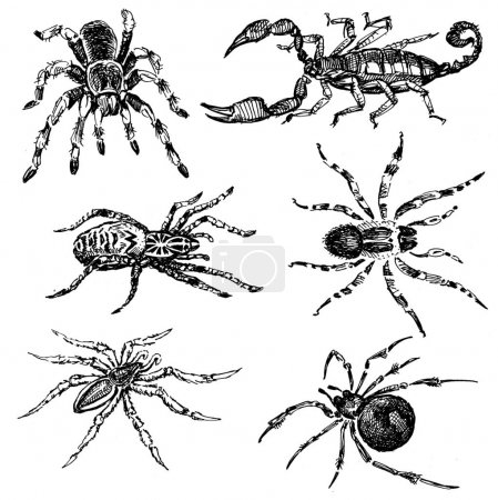 sketches of the spiders