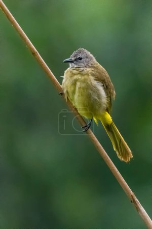 Flavescent Bulbul perching on bamboo grass flower and puffing up its plumage