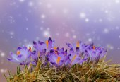 Purple crocus spring flowers in dry yellow grass on colored bokeh background