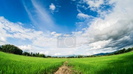 Yong rice field under white clouds and blue sky with lens fish e