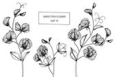 Sweet pea flowers drawing and sketch with line-art on white backgrounds