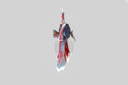 Photo for Colourful Beta fighter fish - Royalty Free Image