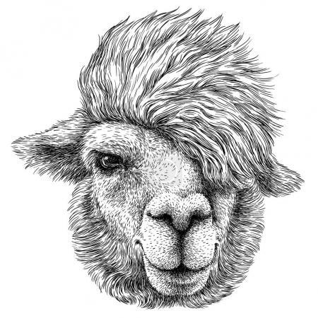 Foto de Blanco y negro graban arte Lama aislado - Imagen libre de derechos