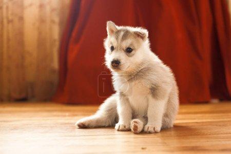 Photo pour Chiot husky sibérien dans les maisons sur le vieux tapis vintage rouge - image libre de droit