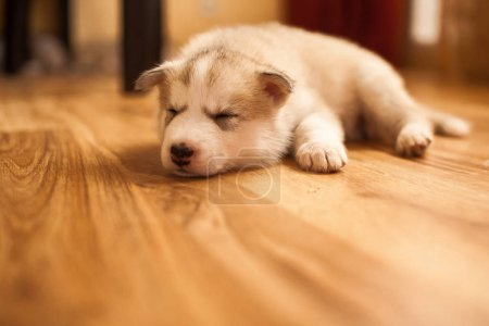 Photo pour Chiot husky sibérien à la maison sur tapis vintage - image libre de droit