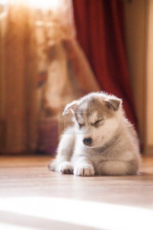 Photo pour Chiot husky sibérien, dormir dans les maisons sur le vieux tapis vintage - image libre de droit