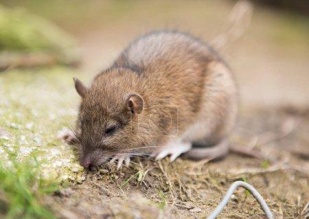 Eine Bauernratte stirbt nach dem Verzehr von Rattengift