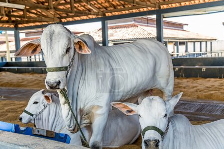 Brazilian Nelore elite cattle in a exposition park