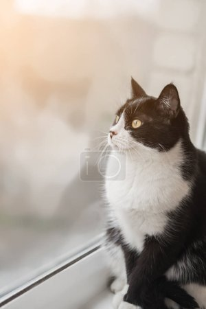Photo for Funny black and white tuxedo cat is sitting on the windowsill and looking out the window, boredom, comfort, drowsiness. Self-isolation of animals at home during quarantine, pandemic - Royalty Free Image